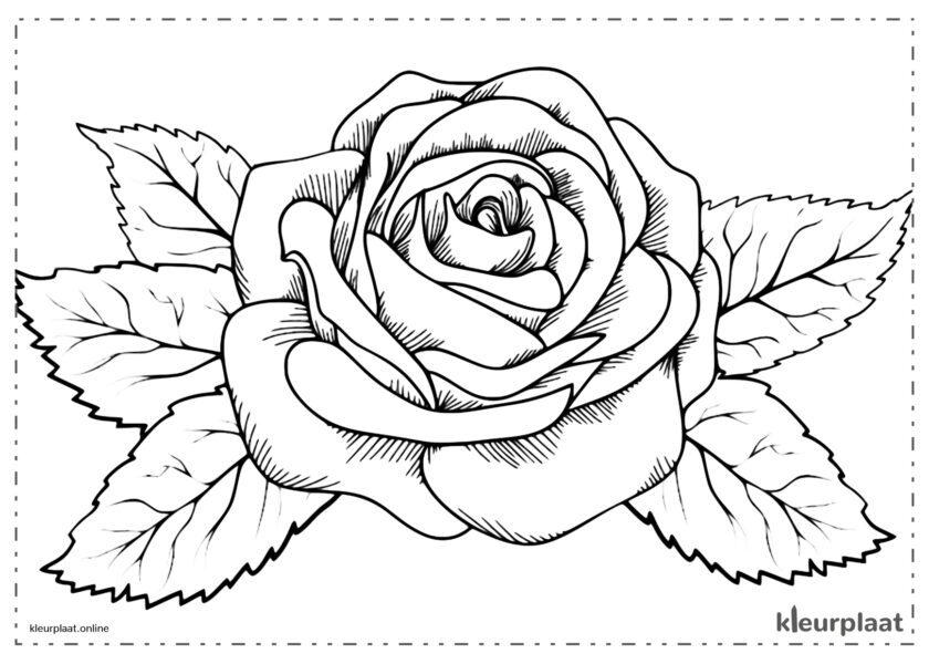 Bloemen Grote en mooie roos bloem